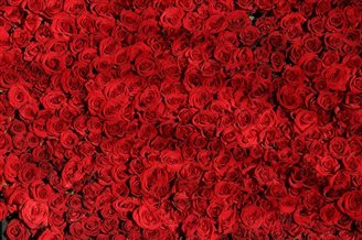 100 rose bushes Bulgaria