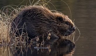 Polish beavers scale new highs