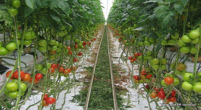 Бизнес на выращивании помидоров 61