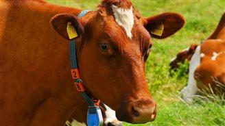 Białoruś zezwoli na import wołowiny z Polski