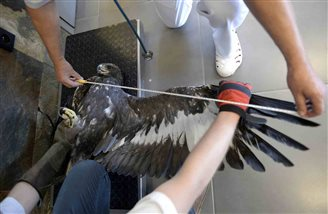 Eagle set to be returned to the wild
