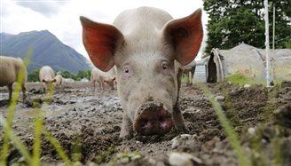 В Польше зафиксирован очередной очаг заражения африканской чумой свиней