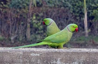Parakeets spotted nesting in Poland