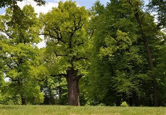 Polish oak up for top tree prize