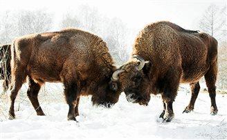 Poland on drive to save European bison