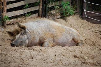 Африканська чума свиней - виклик для галузі