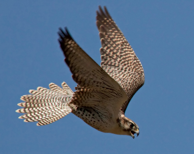 A bird on a mission. Photo: commons.wikimedia.org