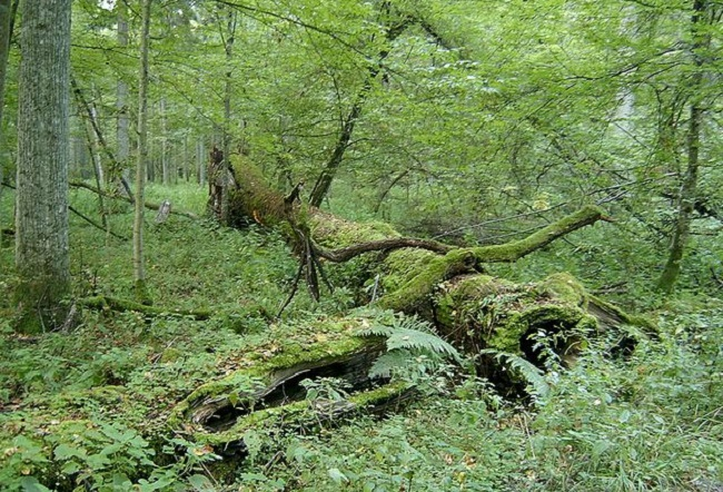 The Białowieża Forest. Photo: Wikimedia Commons/Ralf Lotys/CC BY 3.0