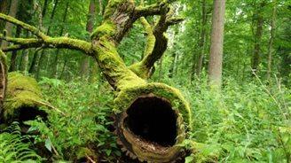 В Беловежской пуще началась санитарная вырубка деревьев