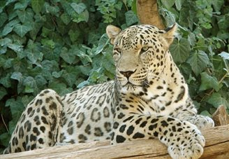 Polish police seize tigers, leopards, lynxes, pumas