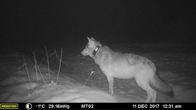 Воўк, пазначаны ашыйнікам з GPS-перадатчыкам.