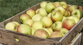 Białoruś: odkryto jak polskie jabłka trafiały do Rosji