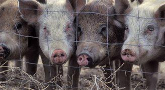 Польское правительство намерено бороться с вирусом африканской чумы свиней