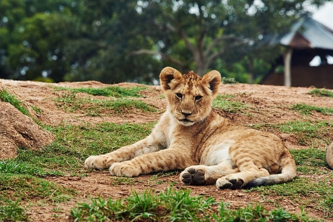 A lion cub. Photo: Pexels.com/Nick Duell.