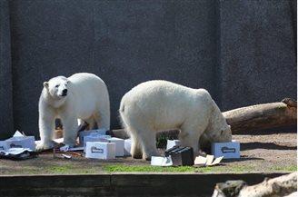 Eisbärzwillinge im Warschauer Zoo feiern 6. Geburtstag