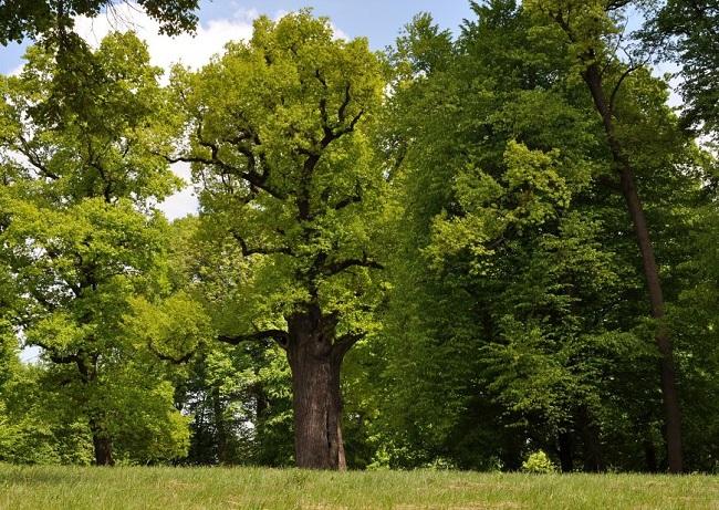 Oak Józef. Photo: treeoftheyear.org