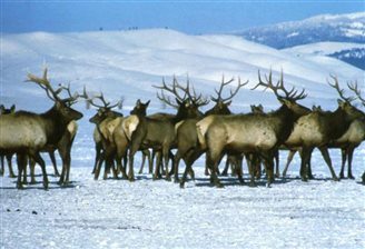 Polish elk go forth and multiply thanks to mild winters, culling moratorium