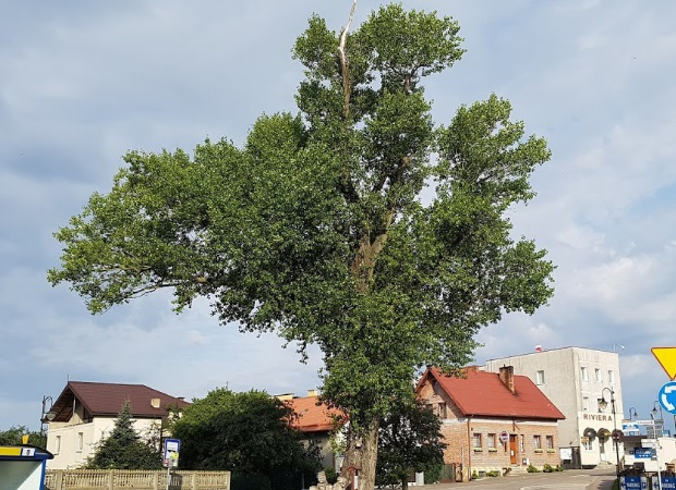 The Polish black poplar in the running for European Tree of the Year. Photo: treeoftheyear.org