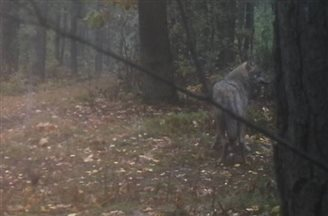 Wolves return to Kampinos Forest, central Poland