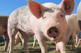 Fighting African Swine Fever