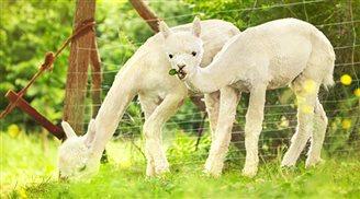 Польські альпаки