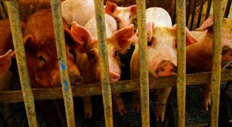 African Swine Fever hits domestic herds in Poland