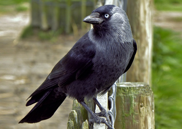 Jackdaw. Photo: Snowmanradio/Wikimedia Commons (CC BY 2.0)