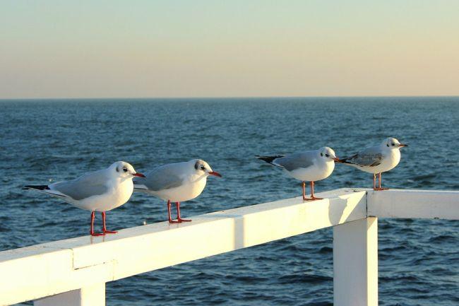 Чайки на Балтийском море в Польше.