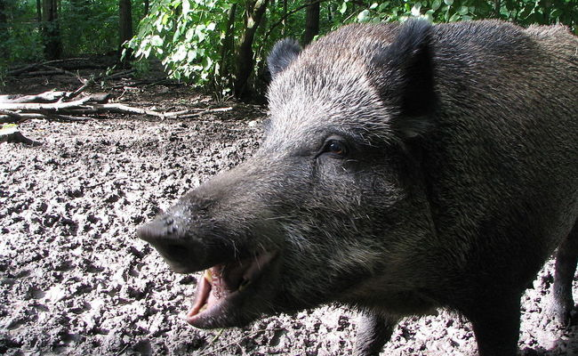Wild boar. Photo: wikimedia commons/GerardM