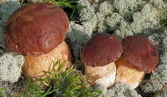 Alle Pilze sind essbar, einige Sorten jedoch nur einmal
