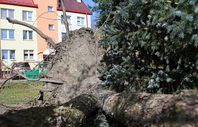 An uprooted tree in a residential area in the southeastern town of Sanok. Photo: PAP/Darek Delmanowicz